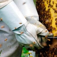 Luvas de apicultor